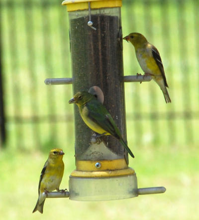 Female Painted Bunting and Goldfinches